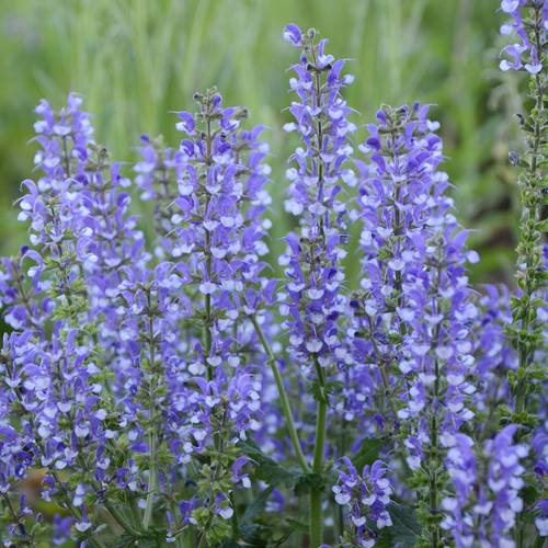 Salvia ColorSpires® Azure Snow
