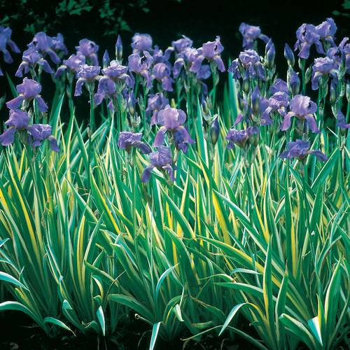 Rare 2 Bulbs Stunning Japanese Iris Incredible Decors Home Garden Outdoor