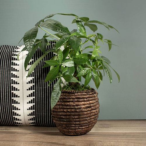 Money Tree in Natural Container