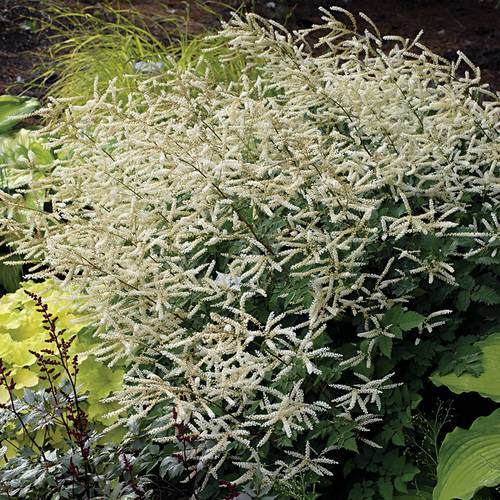 Aruncus Misty Lace