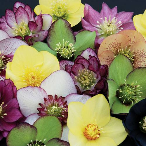 Winter Thriller™ Mix Lenten Rose (Pack of 6)