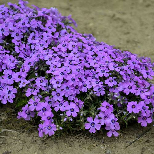 Shop All Easy-to-grow Groundcovers