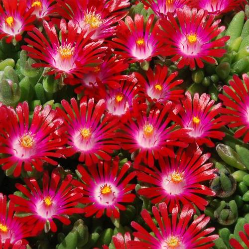 Delosperma Hotcakes® Saucy Strawberry