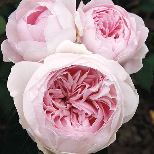Earth Angel™ Parfuma® 24-inch Patio Tree Rose