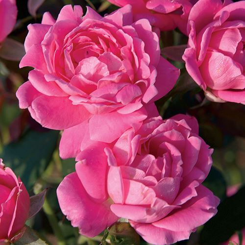 Rosa Pink Double Knock Out® 24-Inch Patio Tree Rose