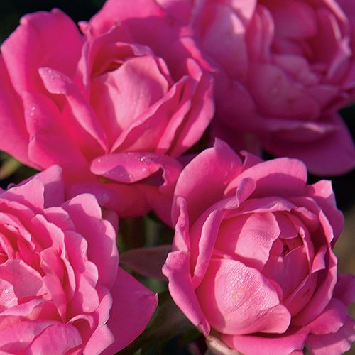 Rosa Pink Double Knock Out® 36-Inch Tree Rose
