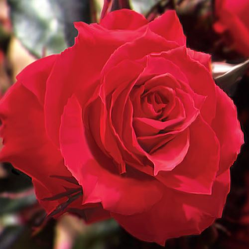 Rosa Red Double Knock Out® 24-Inch Patio Tree Rose