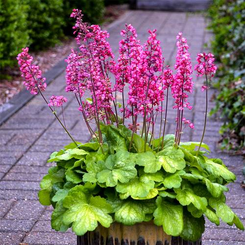Heuchera Timeless Glow