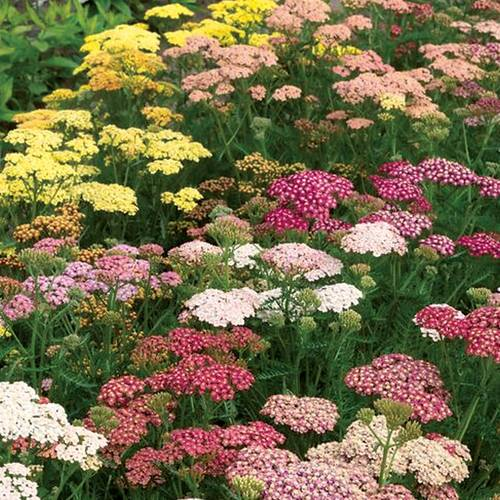 Achillea Rainbow Mix