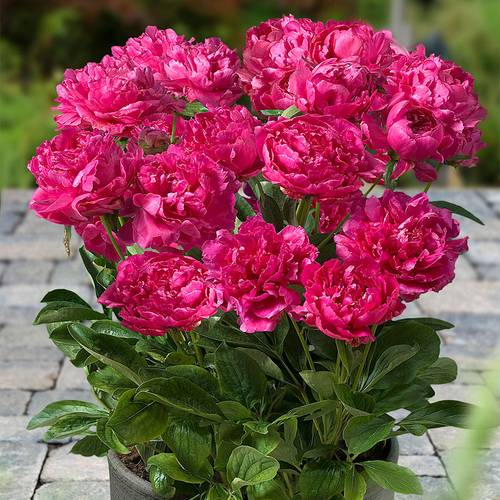 Paeonia London®