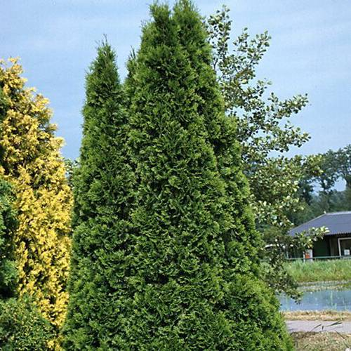 Thuja Emerald Green