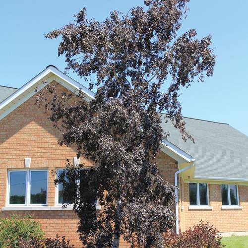 Betula Royal Frost®