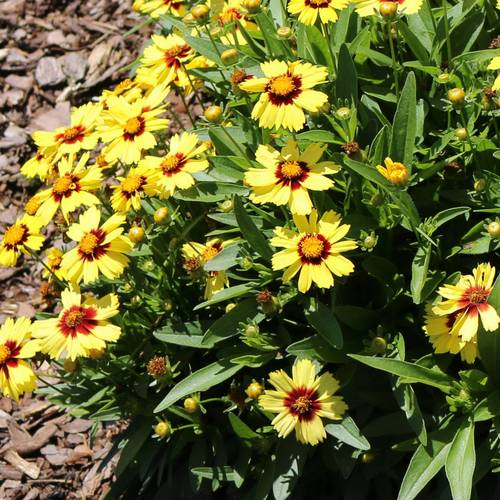 Coreopsis x hybrida Uptick™ Yellow & Red