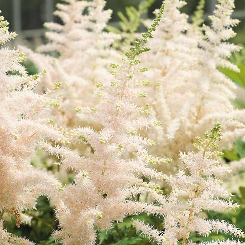Astilbe chinensis Milk and Honey