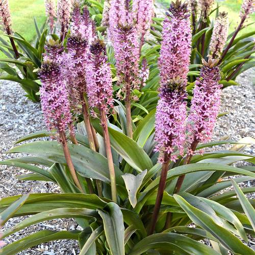 Eucomis African Night