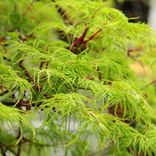 Acer Emerald Lace
