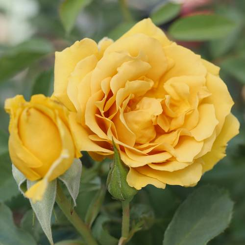 JP 2020 Exclusive Preview Yellow Grandiflora