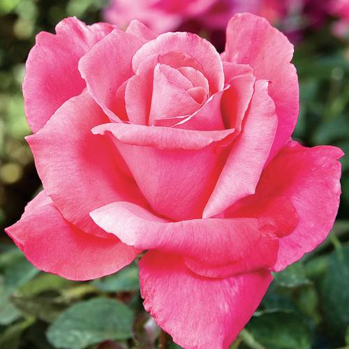 Electron Hybrid Tea Rose