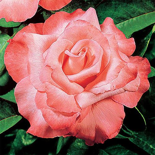 Touch of Class™ Hybrid Tea Rose