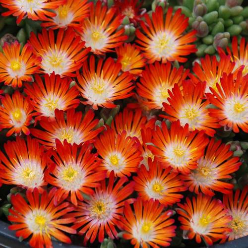 Delosperma Hotcakes Pumpkin Perfection