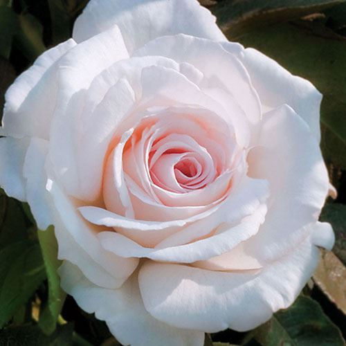 Clouds of Glory Hybrid Tea Rose