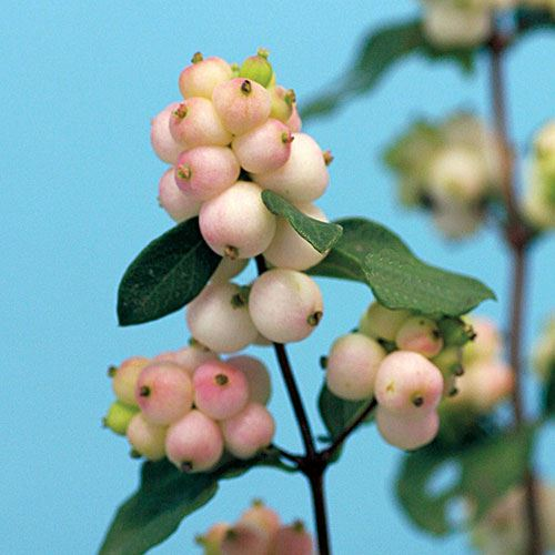 Symphoricarpos Magical® Autumn Blush