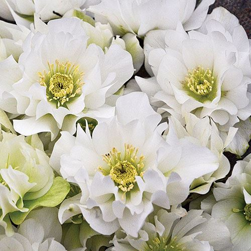 Helleborus Wedding Party® Wedding Bells