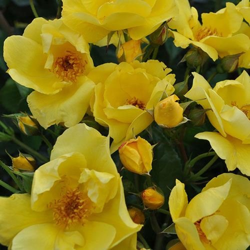 Lemon Fizz Kolorscape® Floribunda Rose