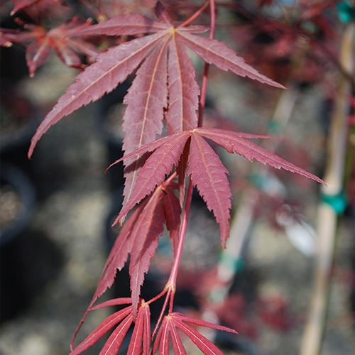 Acer palmatum Dragon Tears