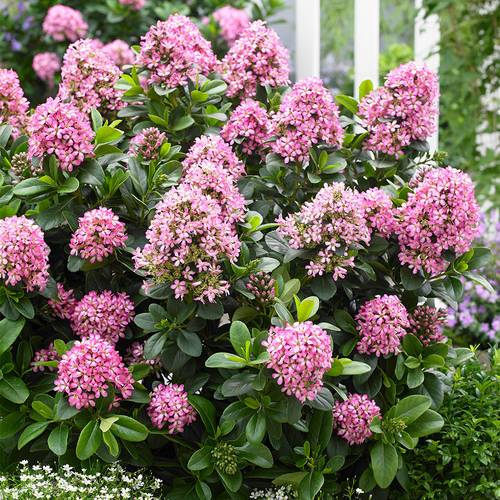 Escallonia Laecis Lades Pink Elle