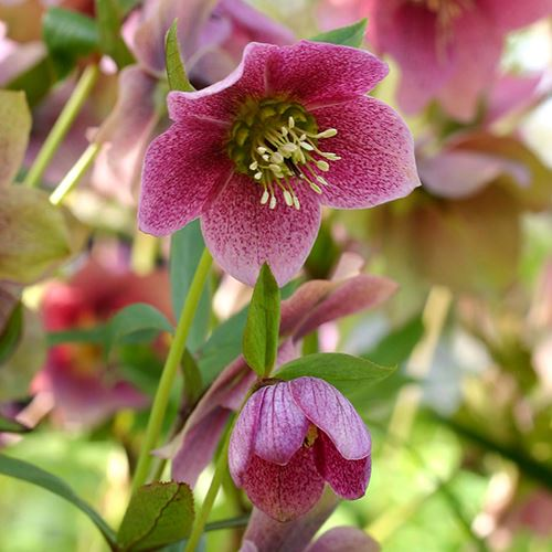 Helleborus Red Mountain