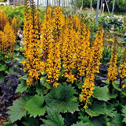 Ligularia Little Rocket