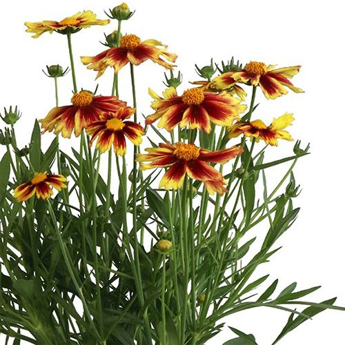 Coreopsis Iron Lady