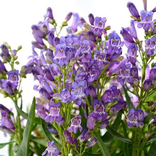 Penstemon hybrid Blue Rock Candy