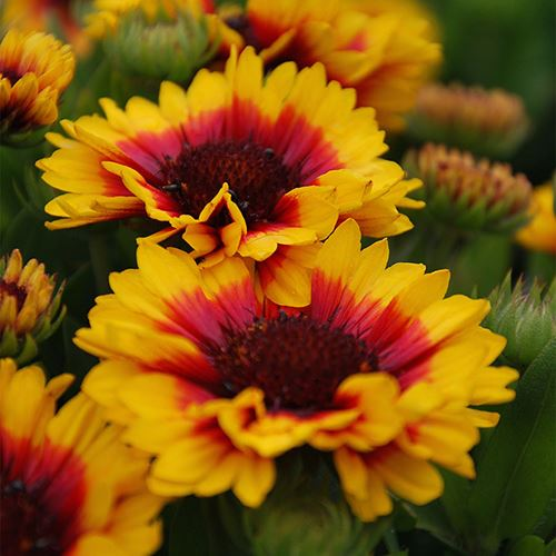 Gaillardia REALFLOR® Sunset Halo