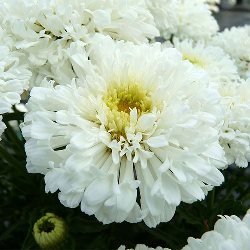 Leucanthemum REALFLOR® Real Snowball