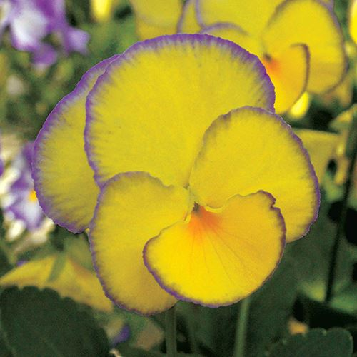 Viola MAGNIFISCENT® Sweetheart