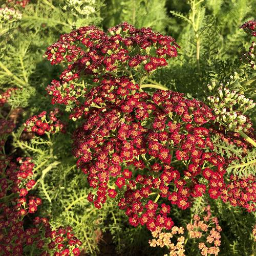 Achillea REALFLOR® Lemon Cherry Fizz