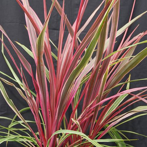 Cordyline Dancing Can Can