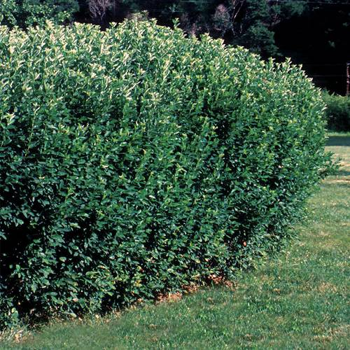 Cotoneaster lucidus Hedge