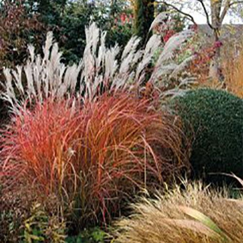 Miscanthus Fire Dragon®