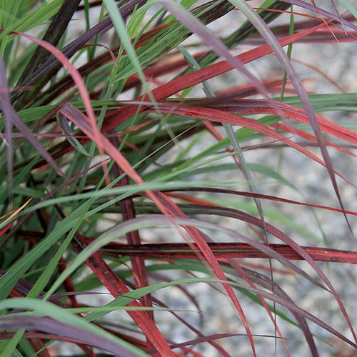 Panicum Ruby Ribbons®