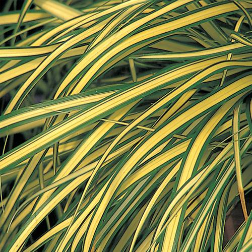 Carex Evergold