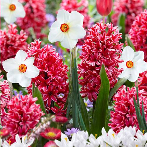 Narcissus & Hyacinth Red Eyes Bulb Blend