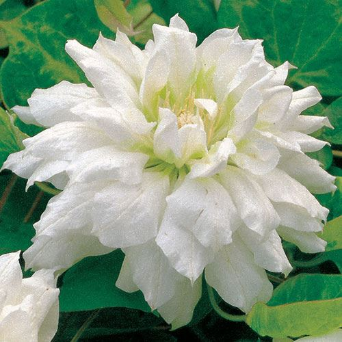 Clematis Duchess of Edinbugh