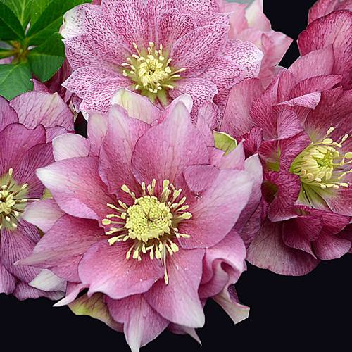 Helleborus Maid of Honor WEDDING PARTY® Series