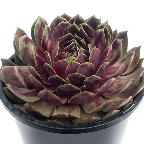 Sempervivum SUPERSEMP™ Rose Quartz