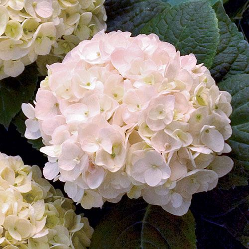 Hydrangea Endless Summer® Blushing Bride