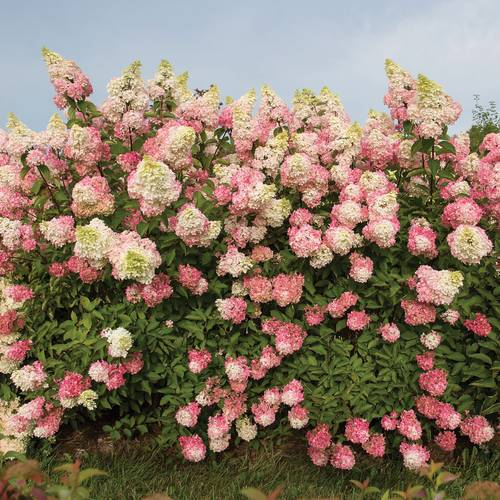 Hydrangea Renba First Editions® Berry White®