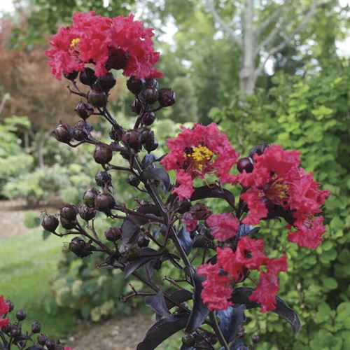 Lagerstroemia Center Stage™ Red